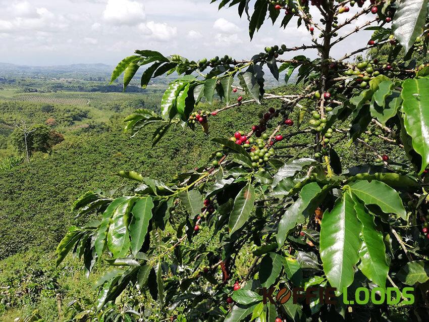 koffieplantage